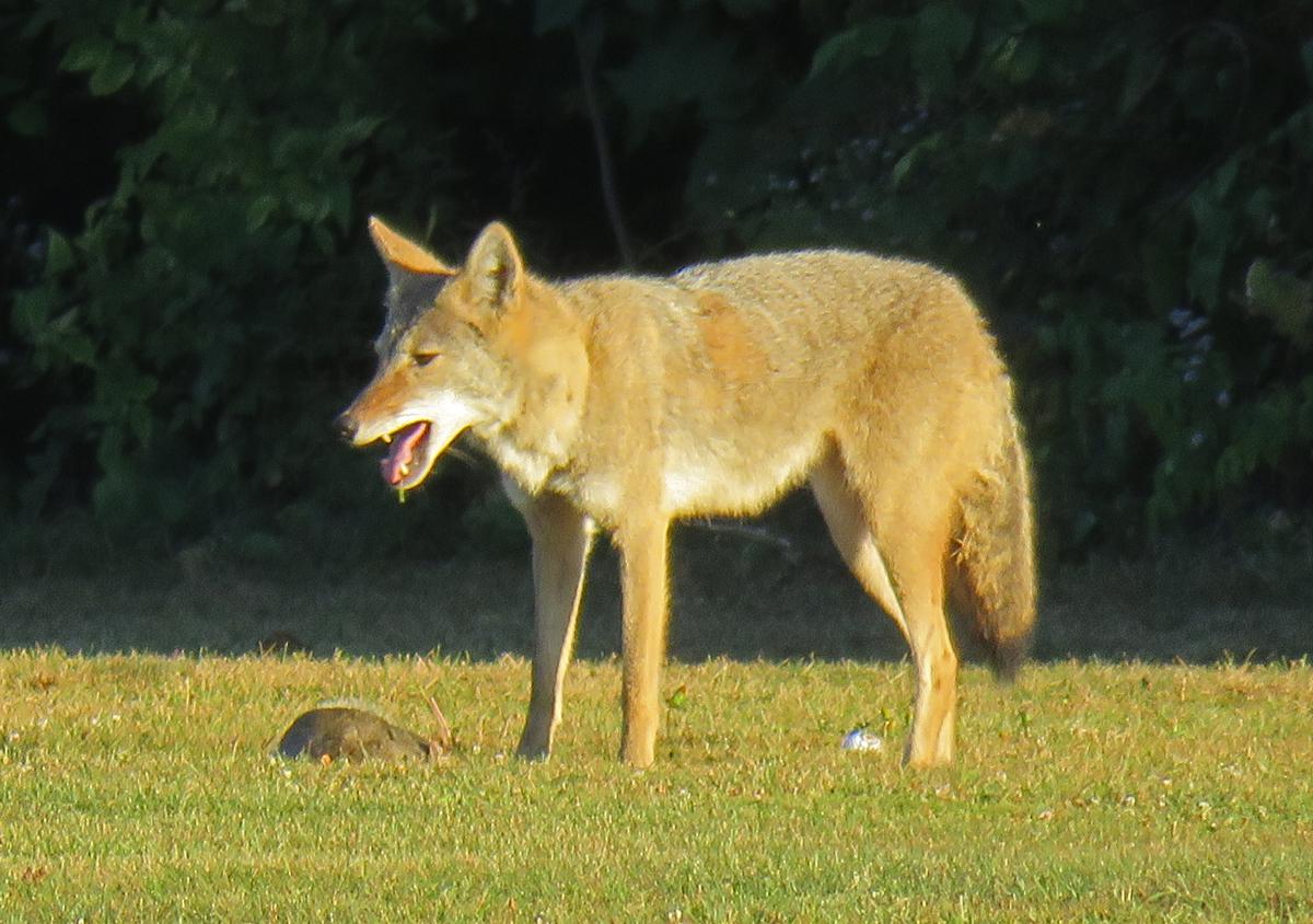 Coyote4-17-09-28_8280