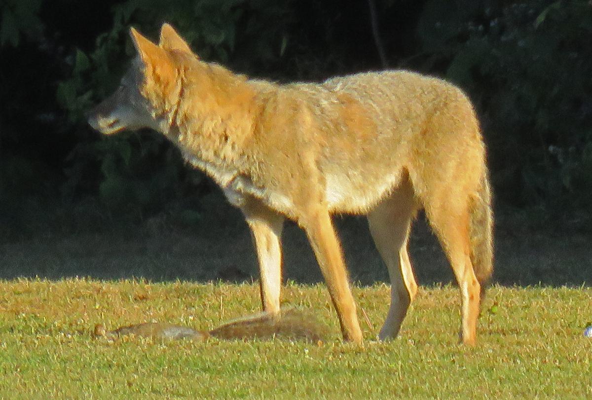 Coyote5-17-09-28_8284